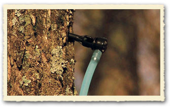 Health spout for tapping Maple syrup