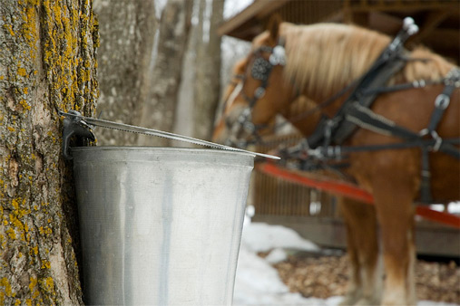 horse-drinking-maple